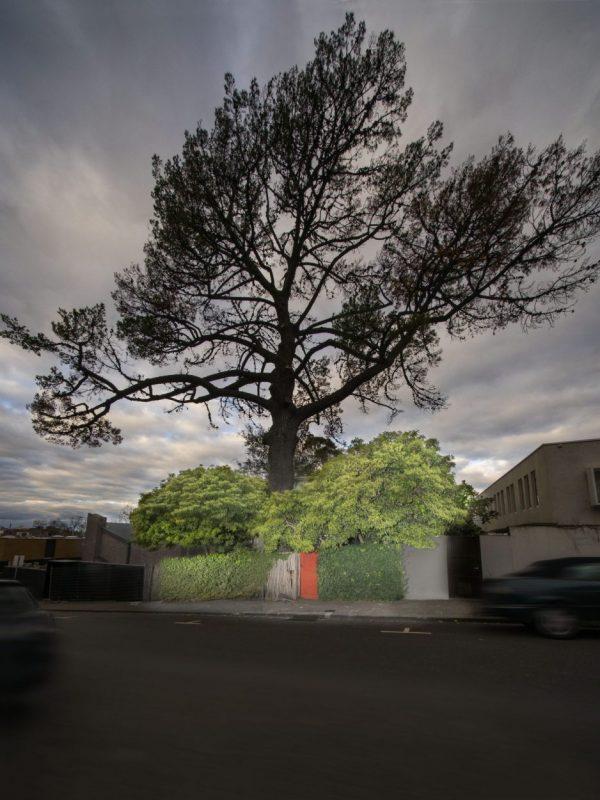 Walsh Street Monterey Pine by John Gollings